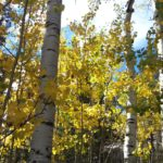 Colorado Aspens near Holden House